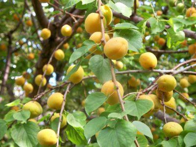 Apricots01